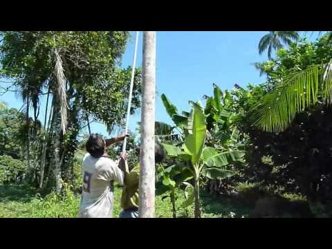Coleta do açaí-solteiro no lago do Calado, Manacapuru, AM., usando a Palmhaste (2)