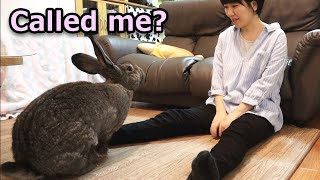 Giant Rabbit Coming When Called (and Jumping on Human's lap) 呼ぶと来るフレミッシュジャイアントうさぎ