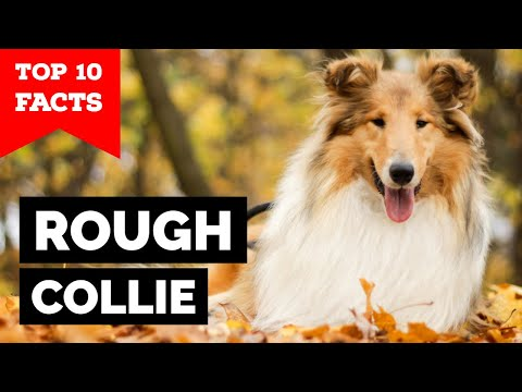 Rough Collie - Top 10 Facts