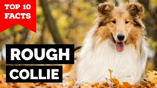 Rough Collie  Top 10 Facts