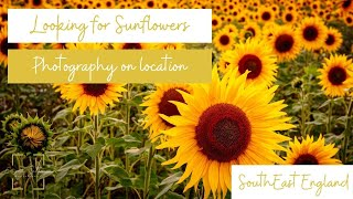 On Location Photography   Looking for Sunflowers   Hertfordshire and Bedfordshire