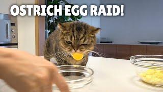 Will LuLu Eat an Ostrich Egg?   Kittisaurus