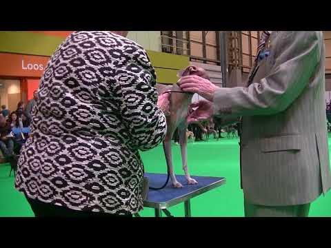Italian Greyhound Crufts 2018 a