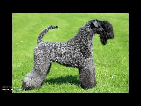 CCFA salutes kerry blue terriers