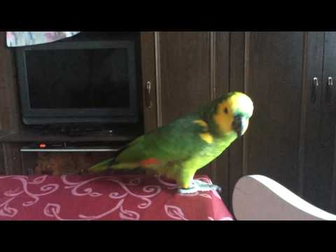 Amazon Parrot crying
