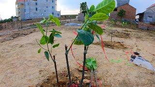 Thời Điểm Trồng Cây Mít Thái Và Cách Trồng Cây Mít Thái / Nhà Nông Làm Vườn
