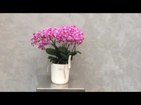 Opti-flor Bellissimo