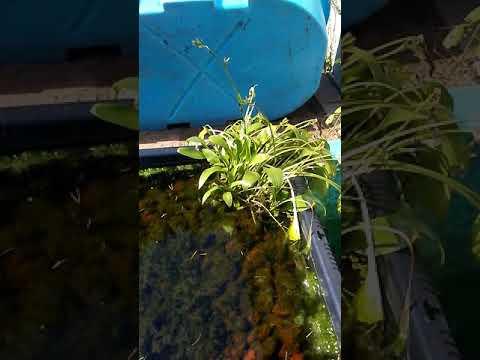 Hostas Growing Submerged In Water