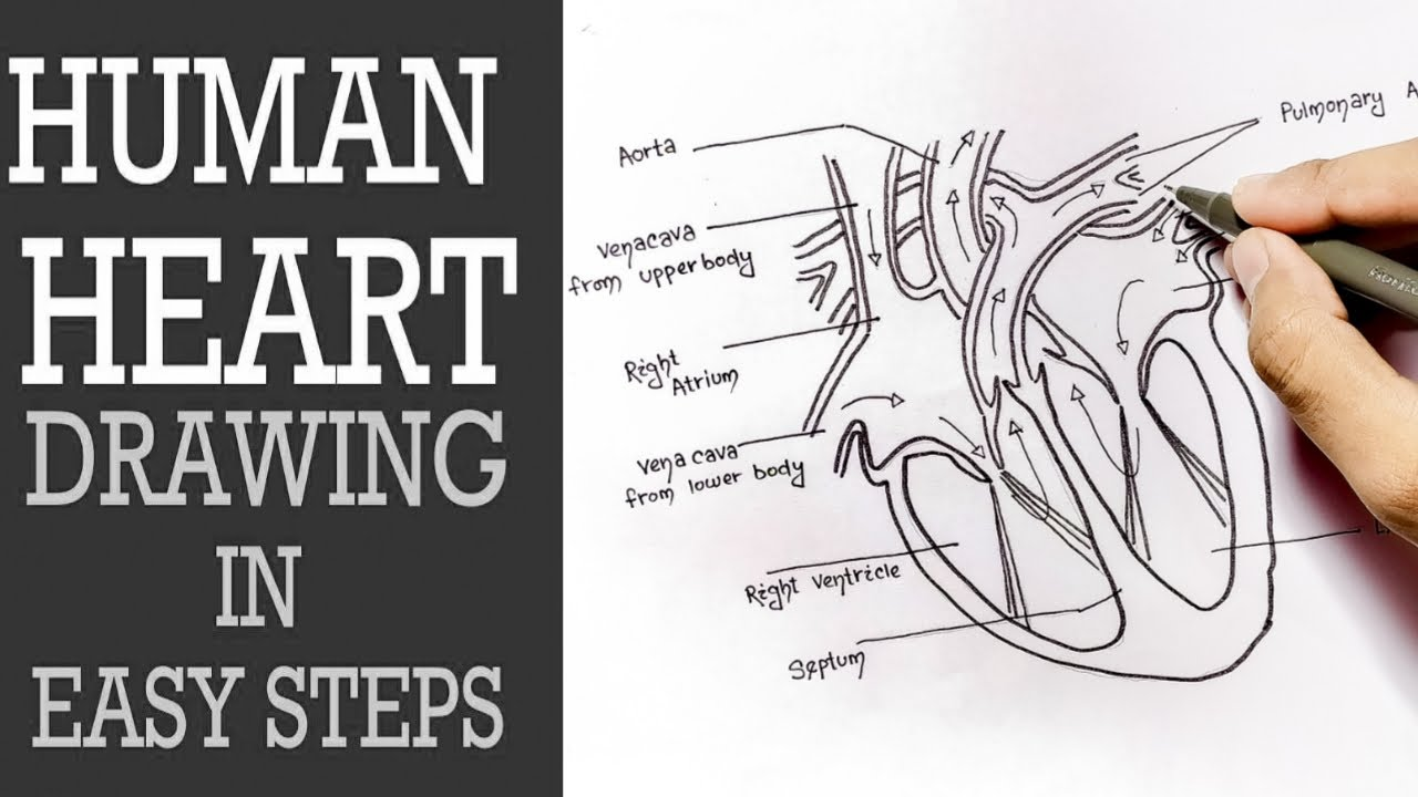 How to draw Human Heart Step by step for beginners ||NCERT ...