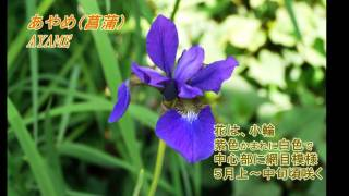 アヤメ科とショウブの違い + 佐原水生植物園あやめ祭りの花菖蒲 Iris