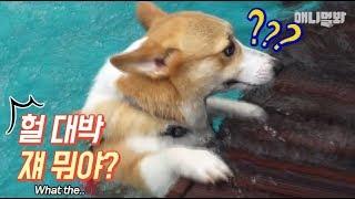 이 웰시코기가요 주말에 개리비안베이 갔다가 신기한 강아지 봤대요ㅣWelsh Corgi Dog's Surprised At Something While Swimming..?!