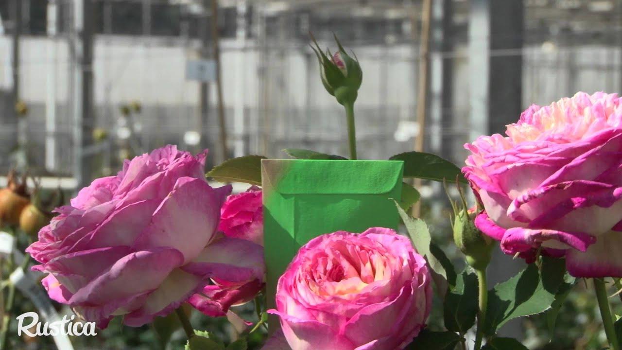 Faire Un Rosier Avec Une Rose comment créer une nouvelle rose