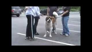 155lb St. Bernard with dog issues