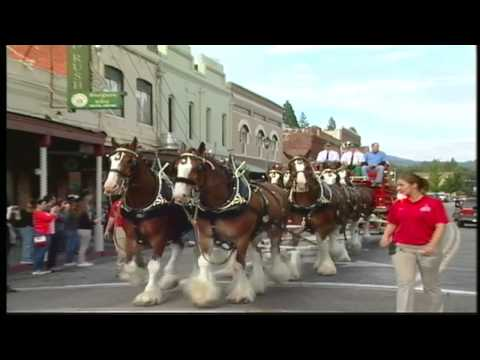 Budweiser Clydesdales in Grass Valley, California