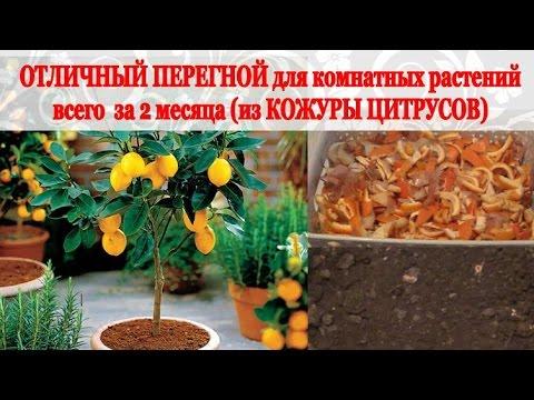Обрезка цитрусовых на примере мандарина - YouTube