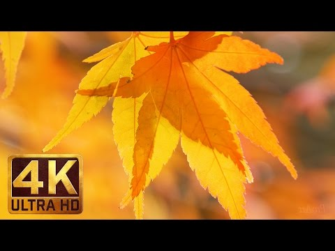 Japanese Maple Tree | 4K Autumn Leaves Scenery | Last Days of Fall - Trailer 53