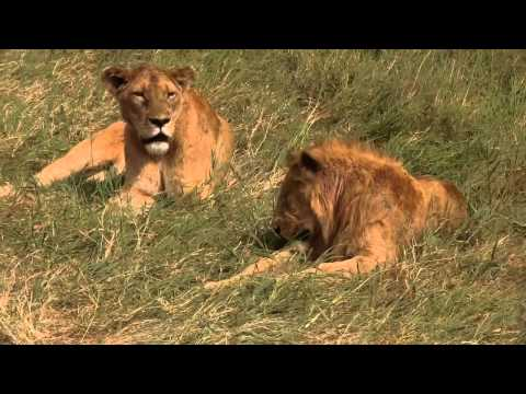 Cute Lions Sleeping In Africa Natural Beautiful