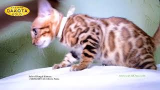 Будни питомника, Dakota Gold, официальный питомник бенгальской кошки, boy2, др 10032018, съемка 1206