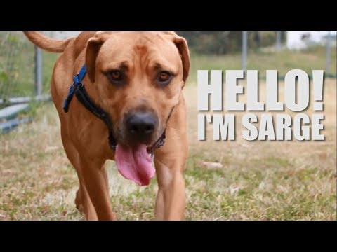 Sarge the Gentle Giant is Looking for his New Furever Home