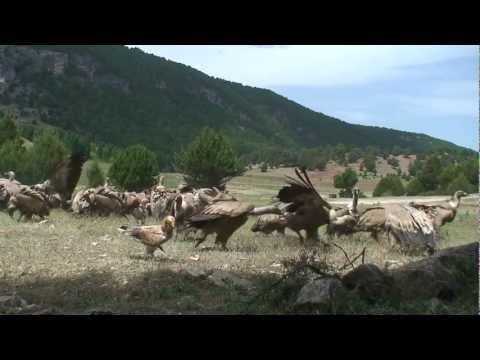 vultures attacking - extreme animals - wildlife