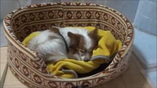 パピヨン 寝る前の行動 【関連動画】 ・パピヨンにからまれまくられて困...