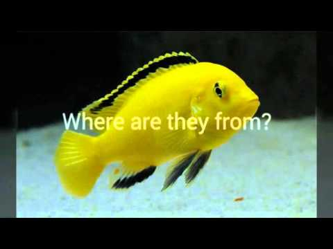 Keeping African Cichlid: Electric Yellow Cichlid