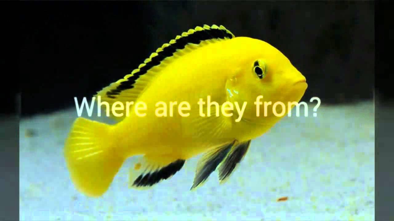 Buy Live Electric Yellow Cichlid Labidochromis Caeruleus (Lions Cove)