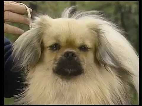 Tibetan Spaniel - AKC Dog Breed Series