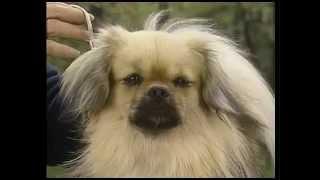 Tibetan Spaniel  AKC Dog Breed Series