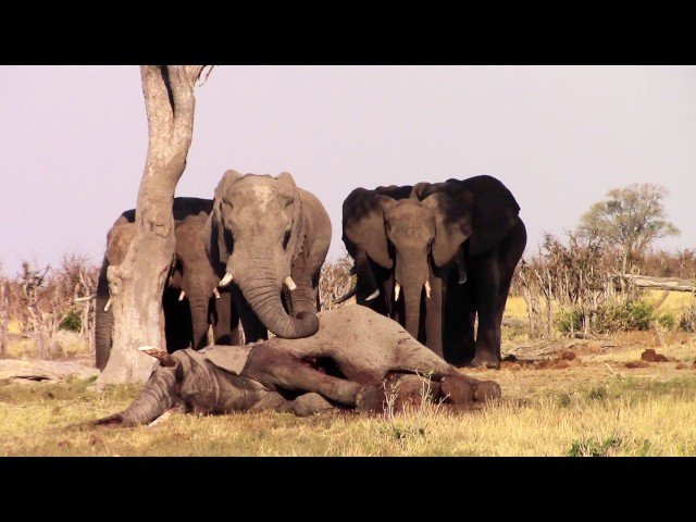 Elephants mourning one of their own