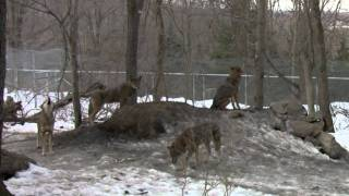 Red Wolf Pack Howling