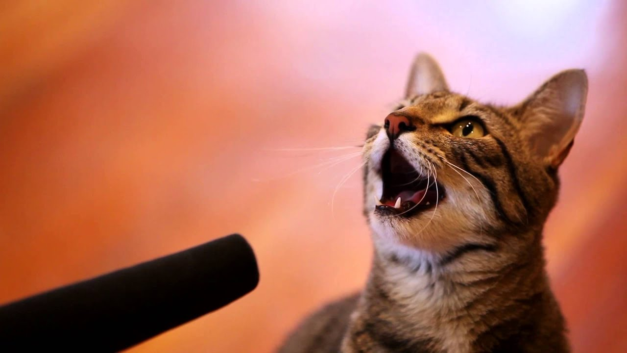 Pictures Of Cats Singing
