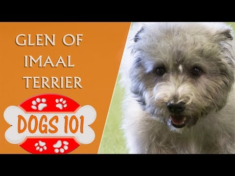 Dogs 101 - Glen Of Imaal Terrier - Top Dog Facts About the Glen Of Imaal Terrier