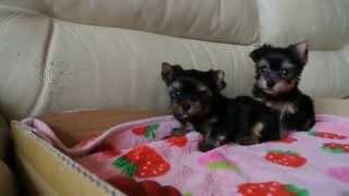 http://www.happyc.biz/00yorkshire-terrier/yorkshire-terrierk.html ...
