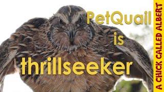 PetQuail Albert is thrillseeker