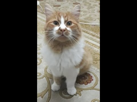 Cymric cat breed . my cat Fetch game.