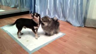 чихуахуа знакомиться с щенком шпица.