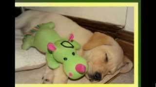 The Best Golden Labrador Ever....my Pixie (plus True Quotes About Dogs)