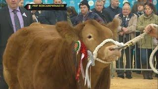 Pencampwriaeth y Gwartheg | Cattle Championiship