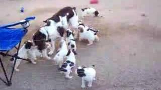 12 English Springer Spaniel Puppies