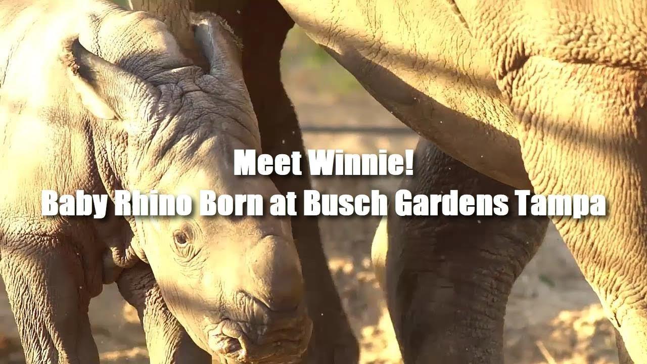 Meet Winnie! - Baby Rhino born at Busch Gardens Tampa Bay - YouTube