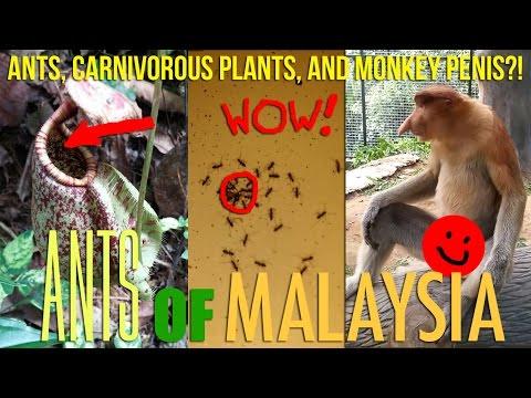 Amazing Exotic Ants of Malaysia
