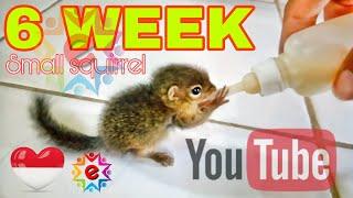 Cara merawat bayi tupai U 6 minggu