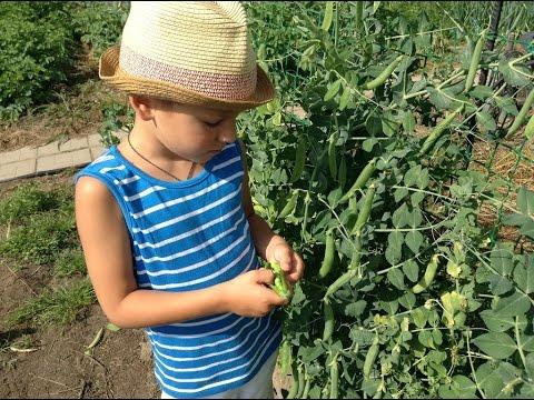 Кукуруза, все о - My Vita Blog