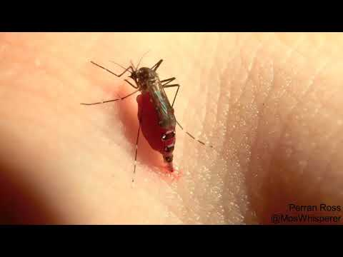 Комары взрываются от количества выпитой крови