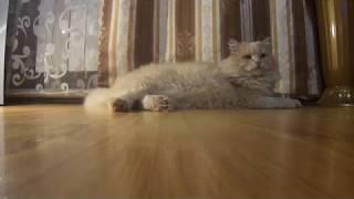 ЦАРЬ . Сибирский кот .