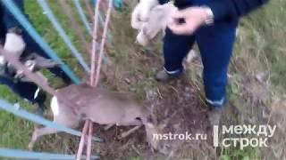 В Нижнем Тагиле оленёнок застрял в железном заборе возле школы