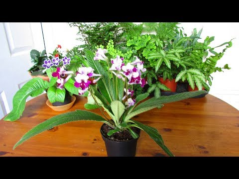 My Plant gift of a Streptocarpus 'Titania' Houseplant for my wonderful Fiance Hans