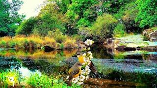 Relaxing Water Sounds & birds - Cenarth Falls - River Water Pools - 4K Ultra HD