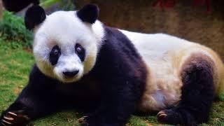 News Update World's oldest giant panda dies aged 37 14/09/17